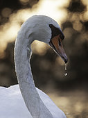 A Mute Swan in the Peak District National Park, UK.