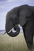 An African bush Elephant (Loxodonta africana) feeding in the Maasai Mara National Park, Kenya.