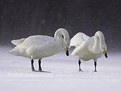 A Whooper Swan (Cygnus cygnus) on the frozen lakes of Hokkaido, Japan.