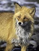 An Ezo Red Fox (Vulpes vulpes schrencki) looks on in Hokkaido, Japan.