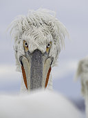 A Dalmatian Pelican (Pelecanus crispus) on Lake Kerkini, Greece.