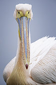 A Great White Pelican (Pelecanus onocrotalus) on Lake Kerkini, Greece.
