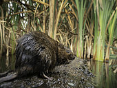 A Water Vole (Arvicola terrestris) assesses his surroundings in the Peak District National Park, UK.