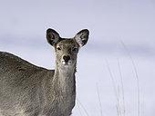 An Yezo Sika Deer (Cervus nippon yesoensis) in Hokkaido, Japan.