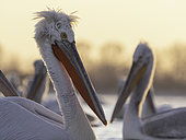 Several Dalmatian Pelicans perch on the shores of Lake Kerkini, Greece.