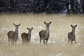 Four Red Deer (Cervus elaphus) hinds line up on the moors of the Peak District National Park, UK.