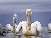 A Great White Pelican (Pelecanus onocrotalus) on Lake Kerkini, Greece.