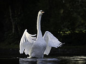 A Mute Swan (Cygnus olor) in the Peak District National Park, UK.
