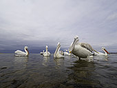 Several Dalmatian Pelicans (Pelecanus crispus) perch on the shores of Lake Kerkini, Greece.