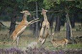 Alt animals in dispute of the red deer ( Cervus elaphus) in blooming heath, beating with runs, National Park De Hoge Veluwe, Netherlands