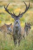 Red deer ( Cervus elaphus) in the rut, Puttbus, Mecklenburg-Western Pomerania, Germany, Europe