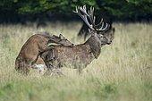Alto ascended red deer ( Cervus elaphus) in rut, Klamptenborg, Copenhagen, Denmark, Europe