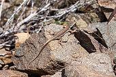 Lézard perse (Eremias persica) sur rocher, Iran