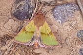 Noctuid moth (Heliothis incarnata), Iran