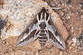 Spurge hawkmoth (Hyles euphorbiae robertsi) on rock, Iran
