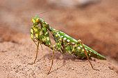 Devil's Flower Mantis (Blepharopsis mendica nuda) female, Iran