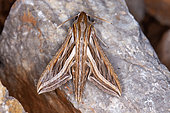 Silver-striped hawk-moth (Hippotion celerio) on rock, Iran