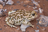 Variable toad (Bufo viridis variabilis), Iran