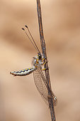 Owlfly (Ascalaphidae sp) on twig, Iran