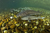 Shoal of Adriatic sturgeon (Acipenser naccarii) IUNC Red List more critically endangered. It's a species of fish in the family Acipenseridae. It is native to the Adriatic Sea. captive in Parco del Ticino, Biosphere Reserve, Lombardia, Italy.
