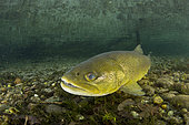 The brown trout (Salmo trutta) is a European species of salmonidfish that has been widely introduced into suitable environments globally. captive in Parco del Ticino, Biosphere Reserve, Lombardia, Italy.