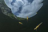 few Wild Alpine Newt close to the surface (Ichthyosaura alpestris), formerly (Triturus alpestris) and (Mesotriton alpestris). Lago Nero, mountain lake, 1739m. Pistoia, Tuscany, Italy.