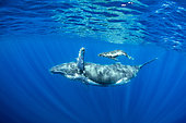 Humpback whale (Megaptera novaeangliae) mother with calf, Réunion, overseas department and region of the French Republic and an Indian Ocean island in East Africa