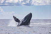 Adult, female Humpback whale (Megaptera novaeangliae) breaching, Réunion, overseas department and region of the French Republic and an Indian Ocean island in East Africa