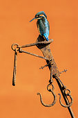 Kingfisher (Alcedo atthis) perched on a piece of steel, England