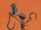 Kingfisher (Alcedo atthis) perched on a piece of steel