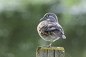 Mandarin duck (Aix galericulata) perched on a post, England