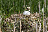 Mute swan (Cugnus olor) on the nest, England