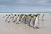 King penguins (Aptenodytes patagonicus), Volunteer Point, East Falkland, Falklands