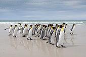 Manchot royal (Aptenodytes patagonicus) groupe sur la plage, Volunteer Point, Malouine orientale, Îles Malouines
