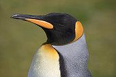King penguin (Aptenodytes patagonicus), Volunteer Point, East Falkland, Falklands