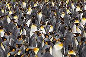 King penguins (Aptenodytes patagonicus) colony, Volunteer Point, East Falkland, Falklands