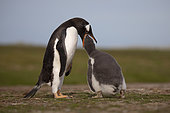 Gentoo penguin (Pygoscelis papua) feeding his chick, Volunteer Point, East Falkland, January 2018