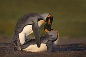 King penguins mating (Aptenodytes patagonicus), Volunteer Point, East Falkland, Falklands