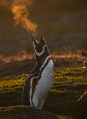 Magellanic penguin (Spheniscus magellanicus) in a cold sunset,l Volunteer Point, East Falkland