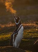 Manchot de Magellan (Spheniscus magellanicus) au nid dans le froid matinal, Volunteer Point, Malouine orientale, Îles Malouines