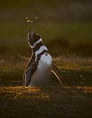 Magellanic penguin (Spheniscus magellanicus) at his nesting hole, Volunteer Point, East Falkland, Falklands
