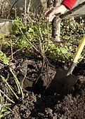 Seedbed plantation of rose tree