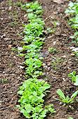 young radisch rows, seedling in spring, vegetable garden