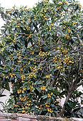 Medlar tree's fruits, loquat (Eriobotrya japonica)