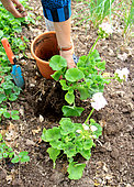 Geranium's plantation into pot from soil