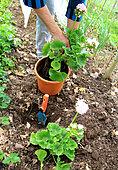 Geranium's plantation into pot from soil