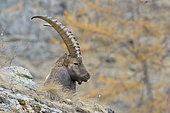Alpine Ibex, Capra ibex, Gran Paradiso National Park, Alps, Italy, Europe
