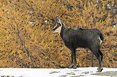 Chamois in winter, Rupicapra rupicapra, Gran Paradiso National Park, Alps, Italy, Europe