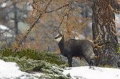 Chamois des Alpes (Rupicapra rupicapra) dans la neige, Parc national du Grand Paradis, Alpes, Italie