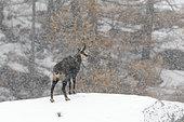 Chamois at snowfall, Rupicapra rupicapra, Gran Paradiso National Park, Alps, Italy, Europe